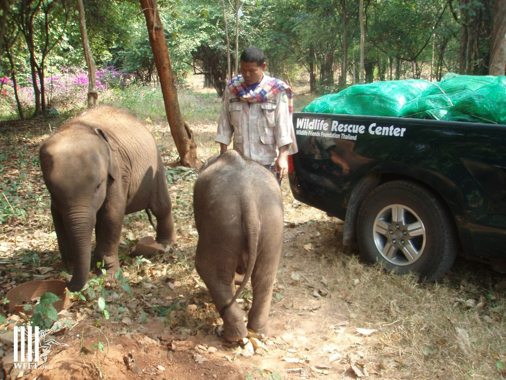 Two wild caught baby elephants confiscated from elephant camps in Kanchanaburi and Huahin