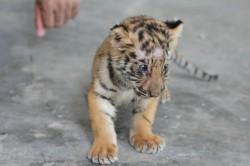 tigers5