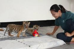 tigers6