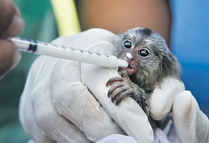 Marmoset being fed milk at Bangkok Airport after being found hidden in a suitcase