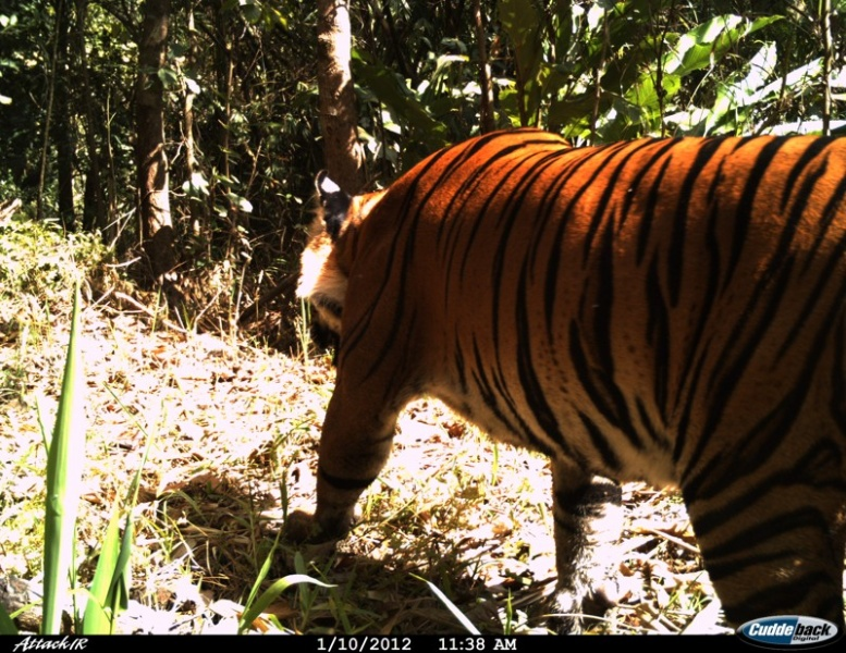 Photo of a tiger in Maewong NP made by a camera trap in 2012