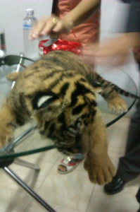 One of the 16 tiger cubs found