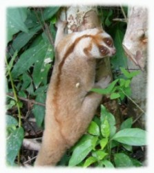 A Loris Climbing Up The Trees After Release