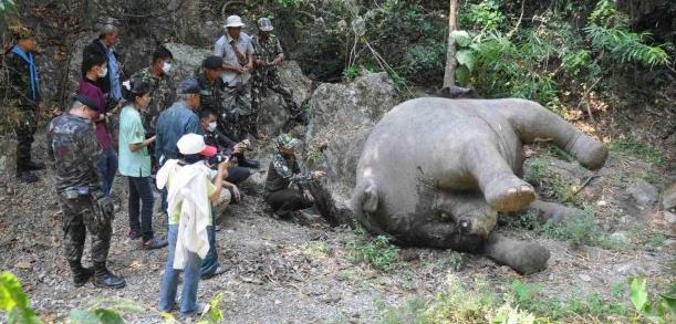 Female ♀ Asian elephant (Elephas maximus) noname (wild) at Kaeng Krachan National Park