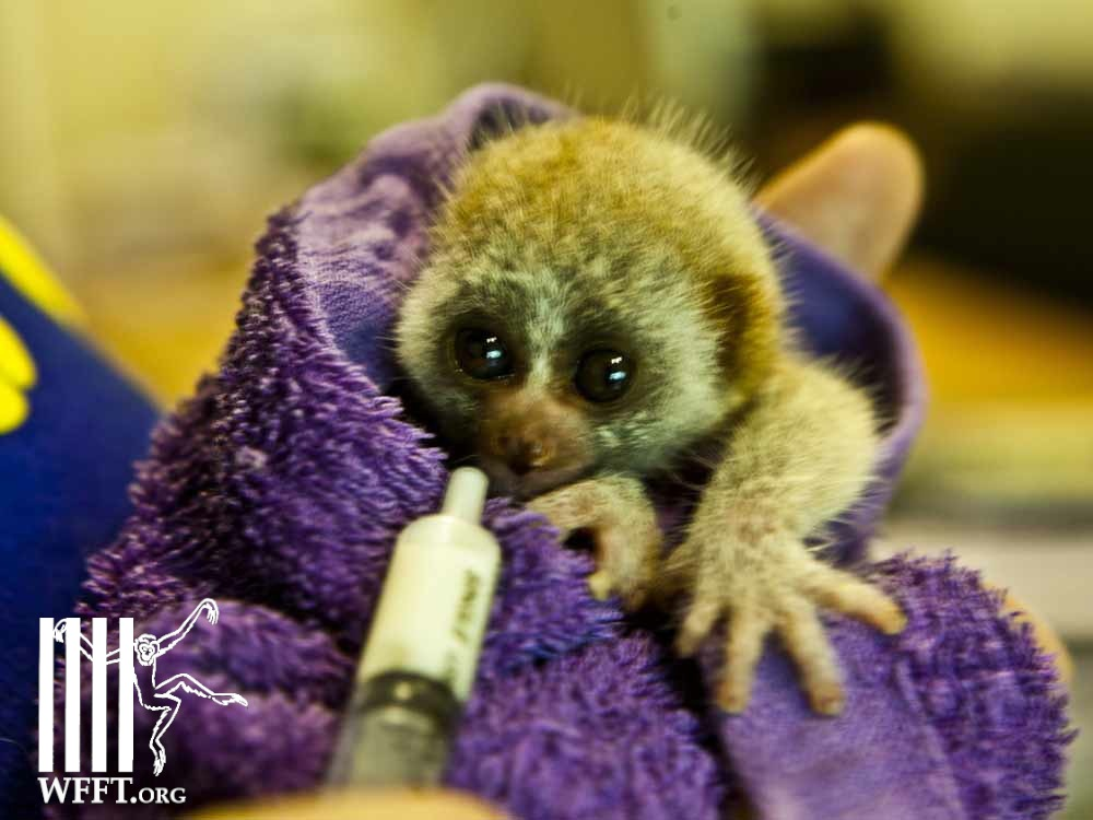 The baby loris being fed at WFFT hospital