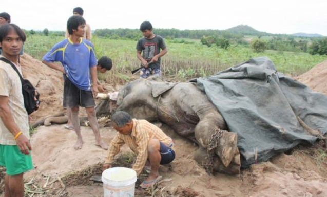 All legs of the elephant chained together