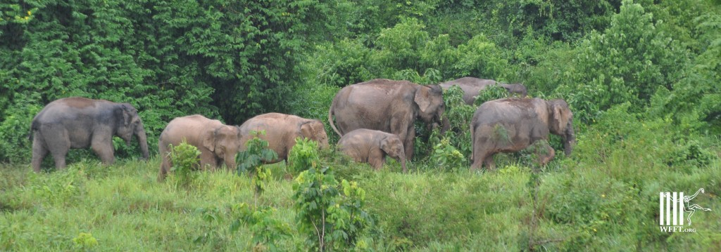 Wild elephants in Petchburi province