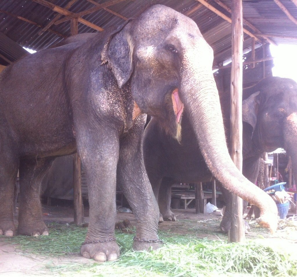 Female ♀ Asian elephant Kaew Petch at WFFT wildlife rescue center and Elephant refuge