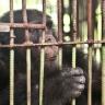 "Free the ""Chimp of Bangkok""!"