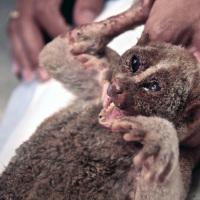 Electrocuted loris rescue #42