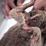 Electrocuted loris rescue #42