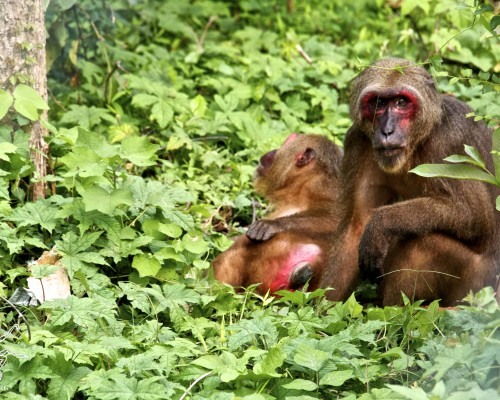 Stump-tailed macaques move to a forest enclosure!