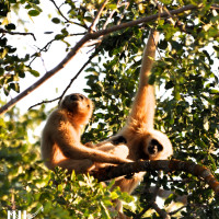 Gibbons back on the forested island at WFFT