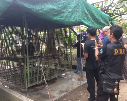 Canoe, the Bangkok chimp, getting help form authorities
