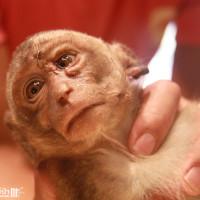 Hin, an unfortunate macaque