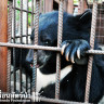 Treatment of bears at temples