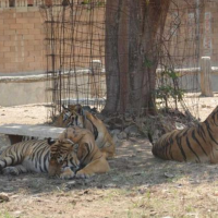 Tiger temple update