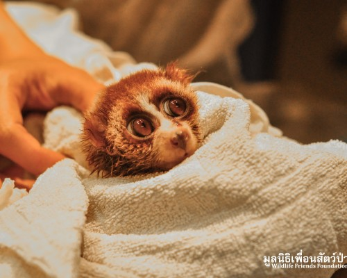 Another loris rescue... When will it stop?