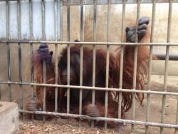 One of the 14 orangutans
