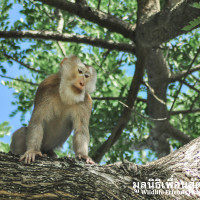 Pig-tailed macaques scares villagers