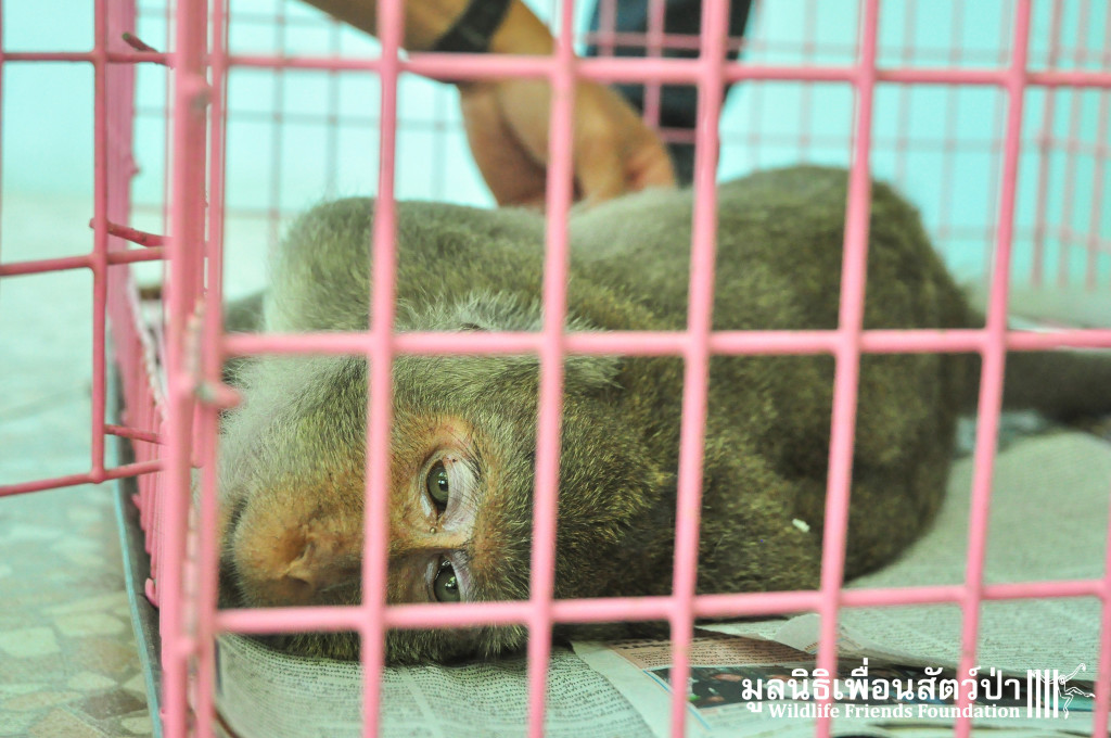 WFFT Vet Team treating the injured macaque