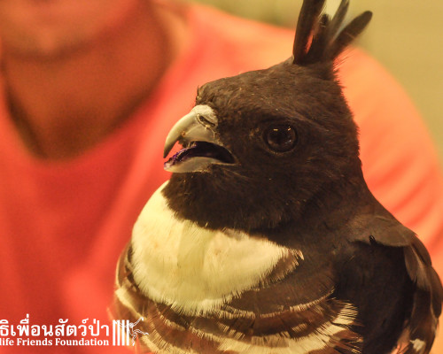 Black Baza rescued after poisoning on migration route