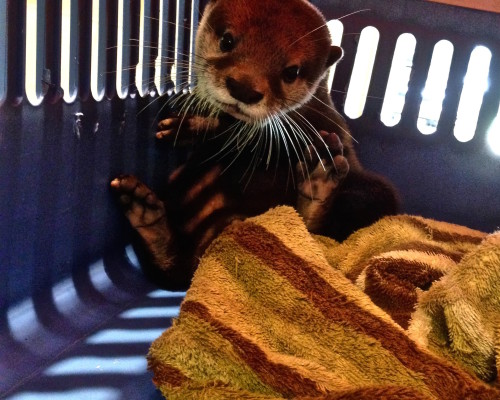 Jarvis the otter arrives at WFFT