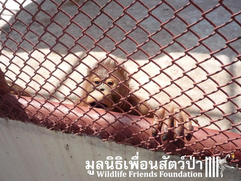 Phuket Orangs (13)