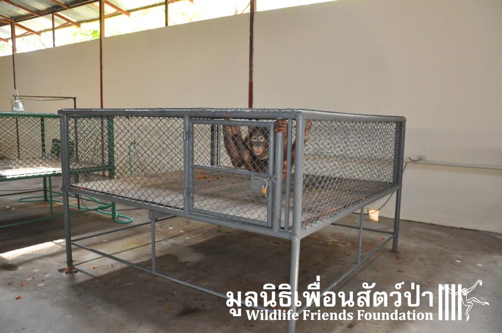 Phuket orangutans6