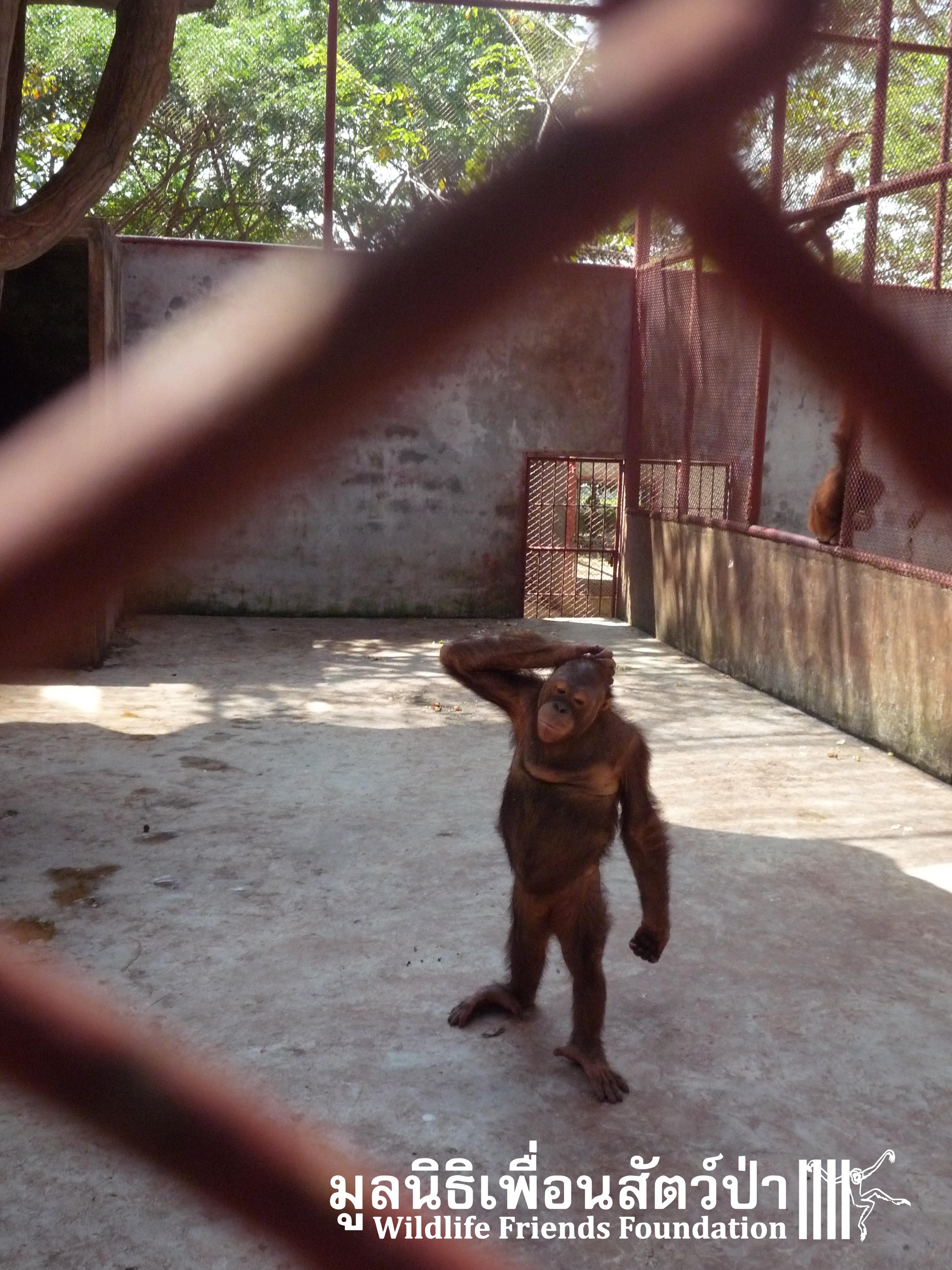 The Orangutans Are Almost Home!!!