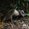 Confiscated pangolins returned to the wild!