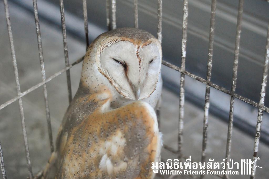 Barn owl rescue 091215 926