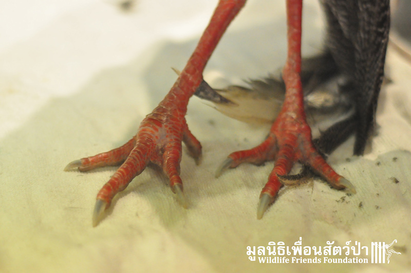 Kalij Pheasant rescue 131215 128