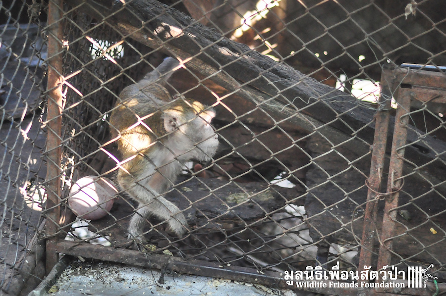 Macaque rescue Catoon HuaHin 301215 1085