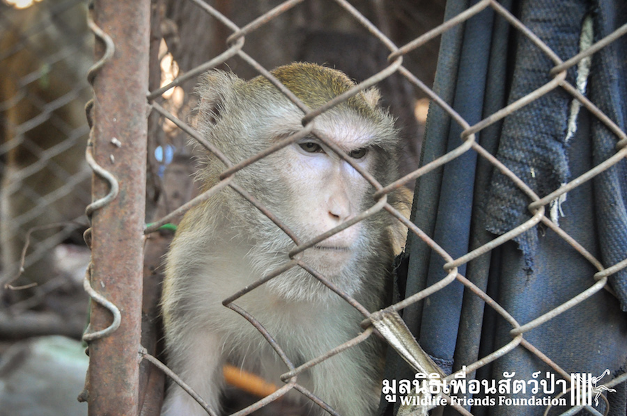 Macaque rescue Catoon HuaHin 301215 356