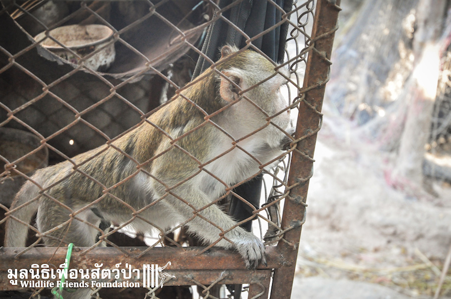 Macaque rescue Catoon HuaHin 301215 366