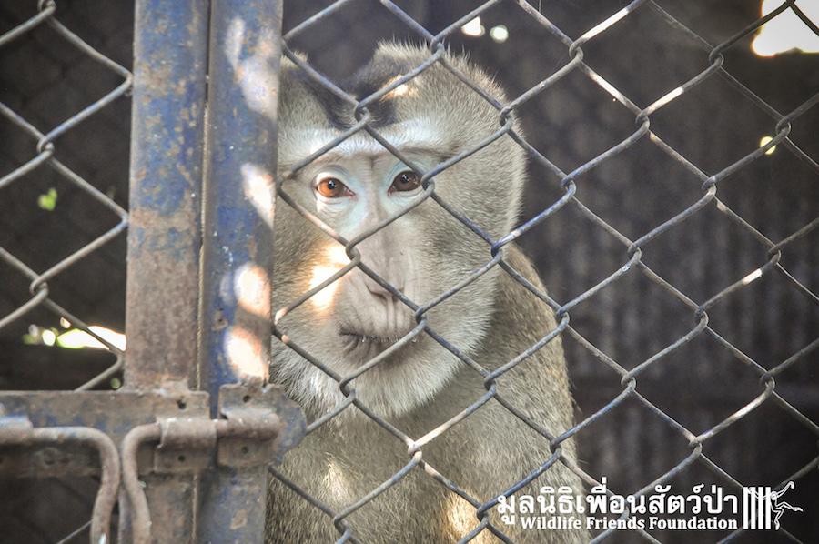 Macaque rescue KaTang HuaHin 301215 359