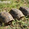 3 Endangered Elongated tortoises rescued from the cooking pot