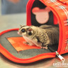Sugar glider handed over to WFFT