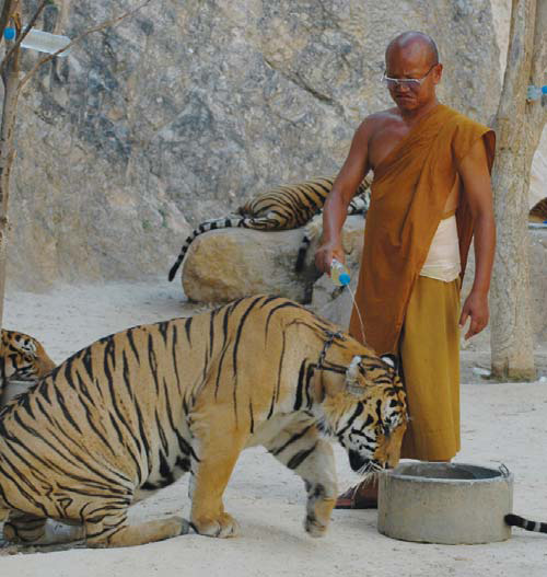 Update - Tiger Temple - Is it nearing the end of the