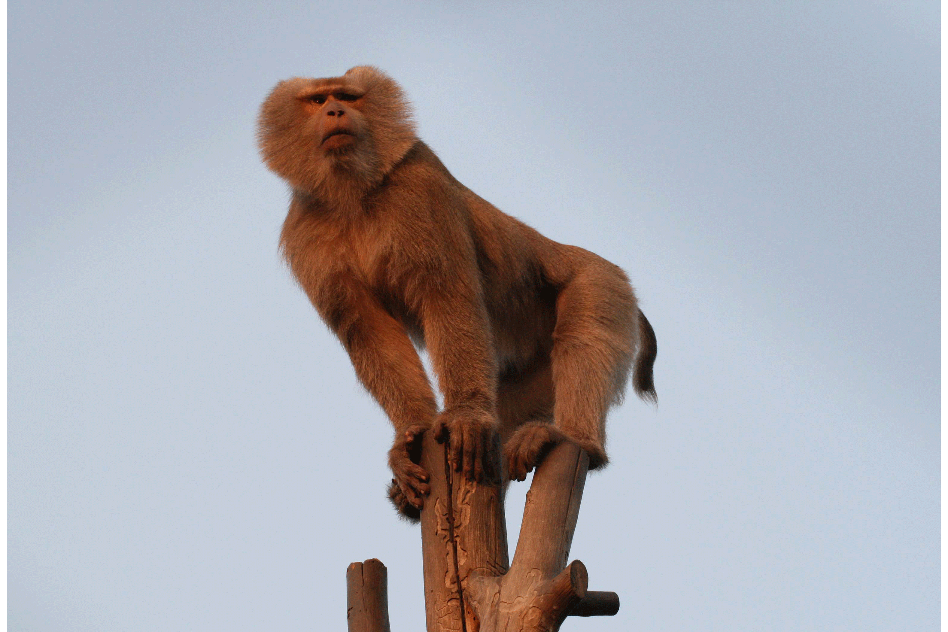 Chevrolet—northern Pig Tailed Macaque (Macaca Leonina)a