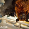 A rare flying fox arrives at WFFT