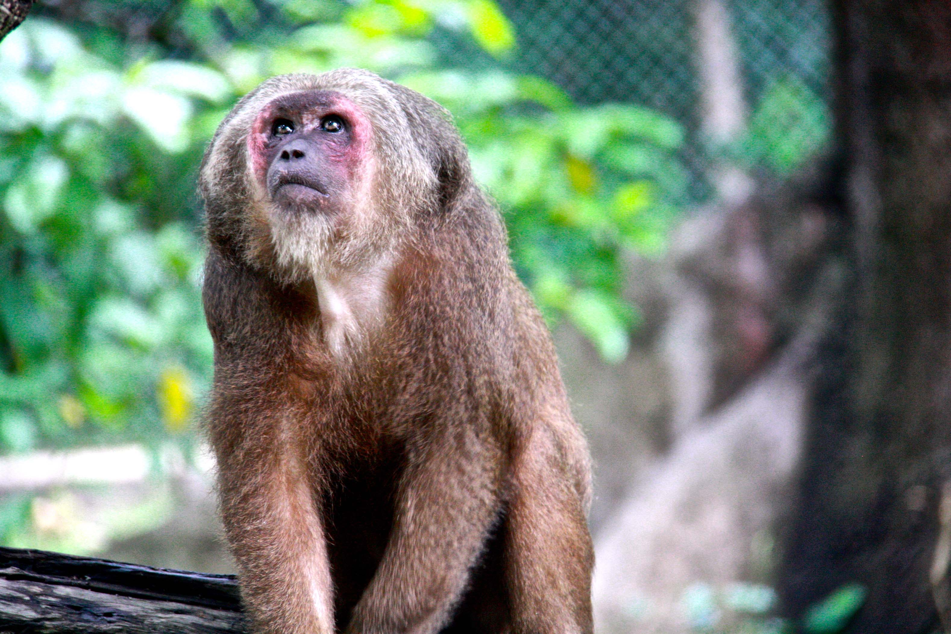Jeaw – Stump Tailed Macaque (Macaca Arctoides)a
