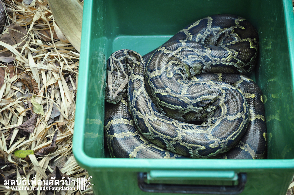 Release Burmese python 280116 0970