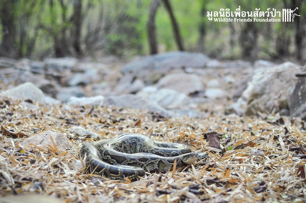 Release Burmese python 280116 999