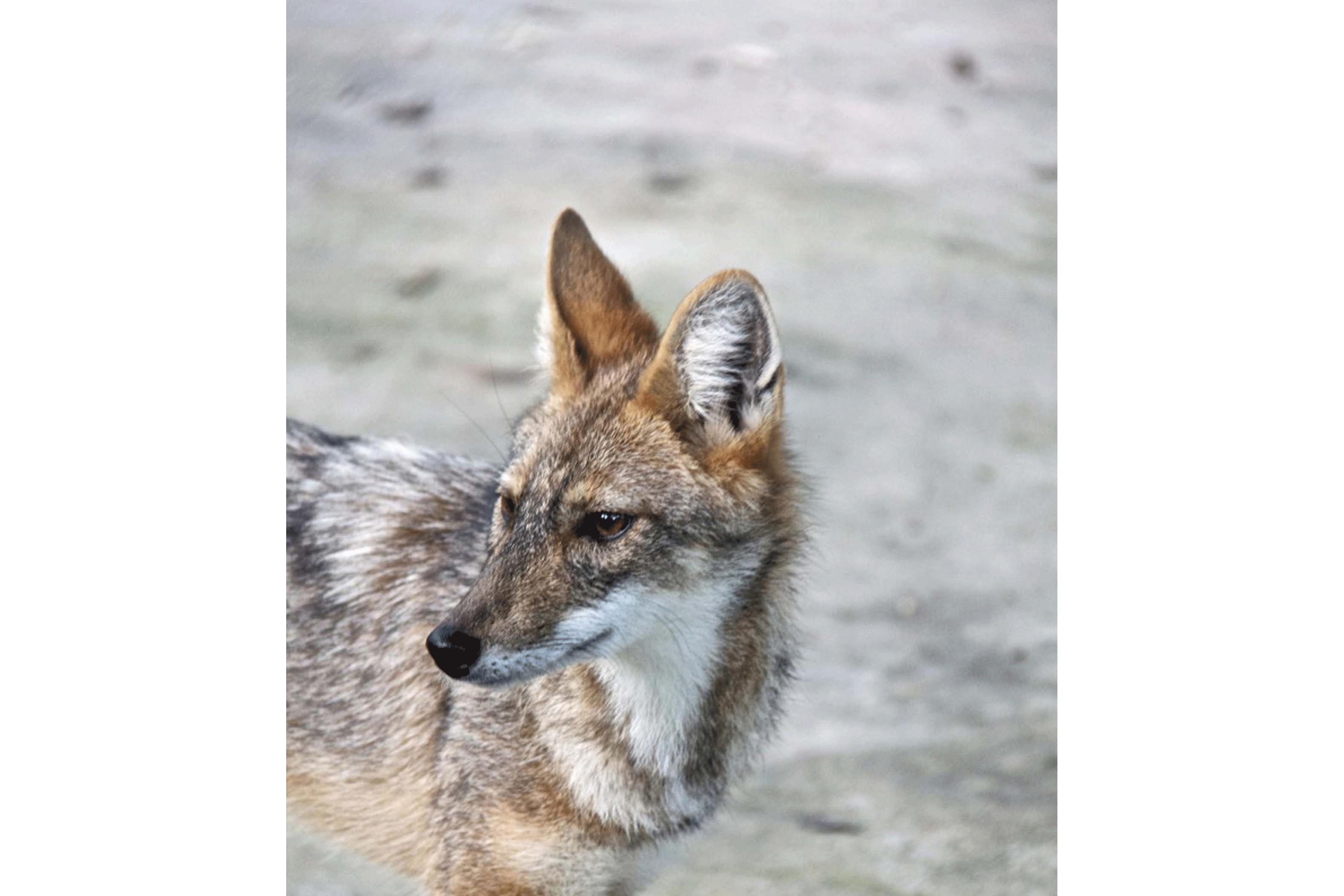 Roxy—golden Jackal (Canis Aureus)a