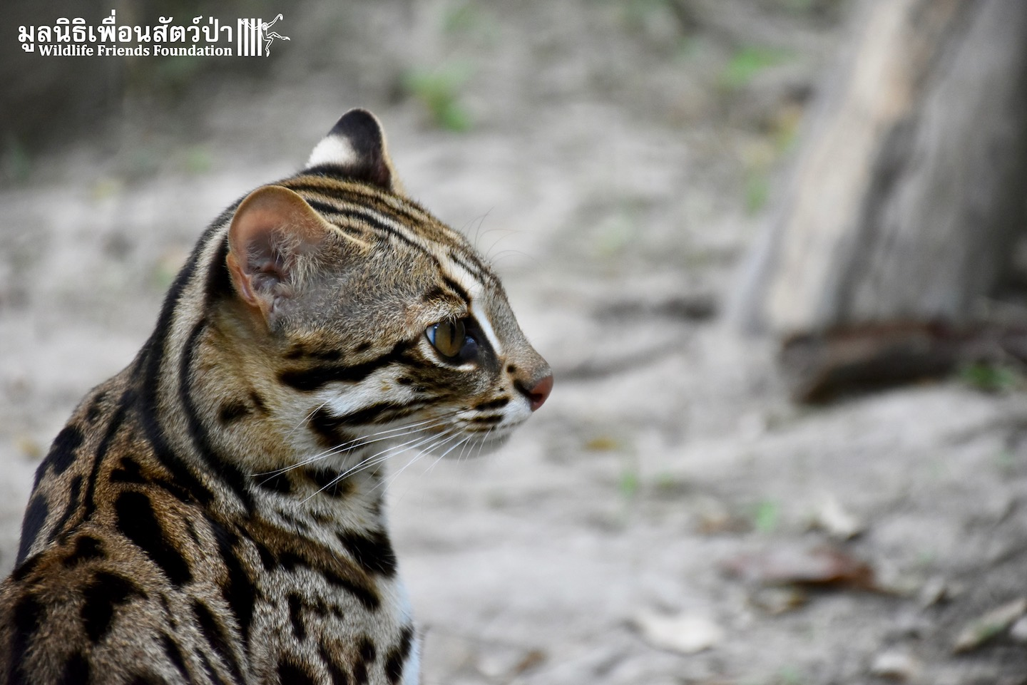 Tiger leopard cat