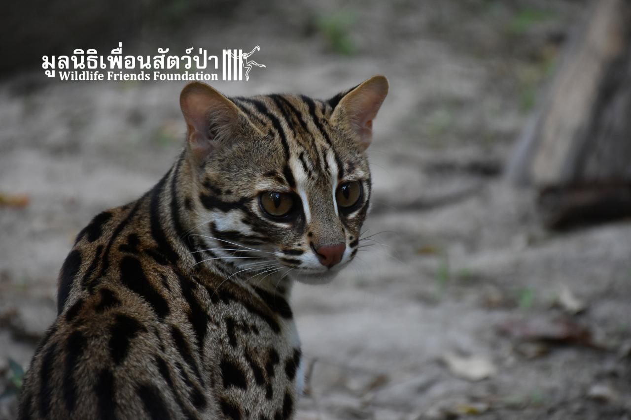 Leopard cat - Leonardo