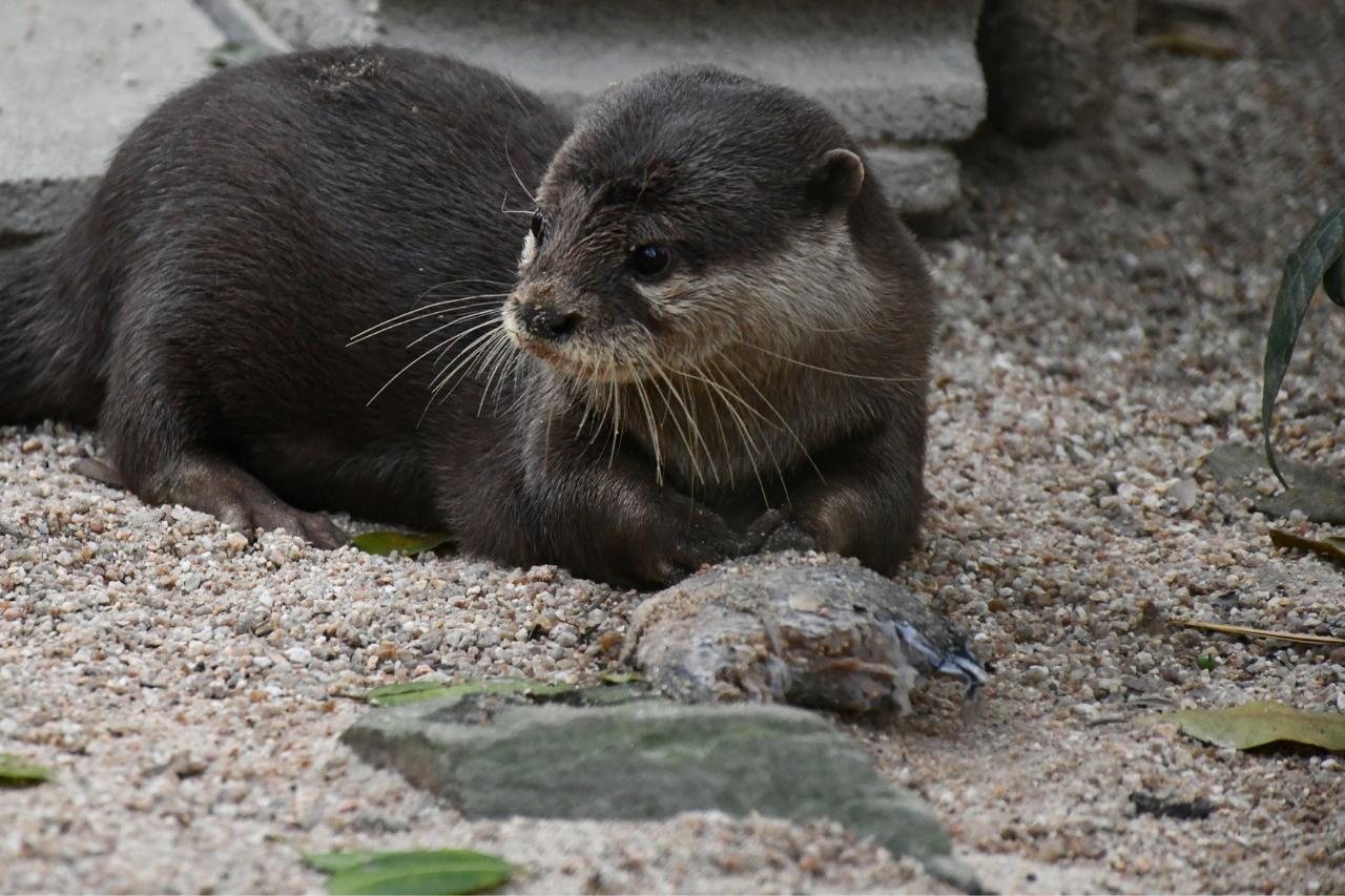 Otter, Lucky