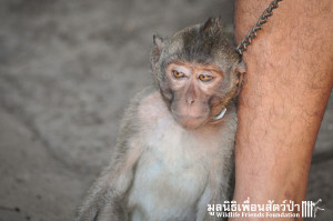 Macaque rescue Jack 080316 3935